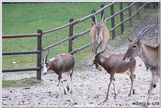 Blässbock und Elenantilope