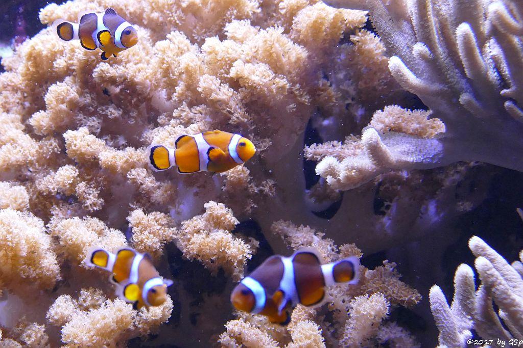 Orangeringelfisch (Westlicher Clownfisch, Orange-Ringel-Anemonenfisch)