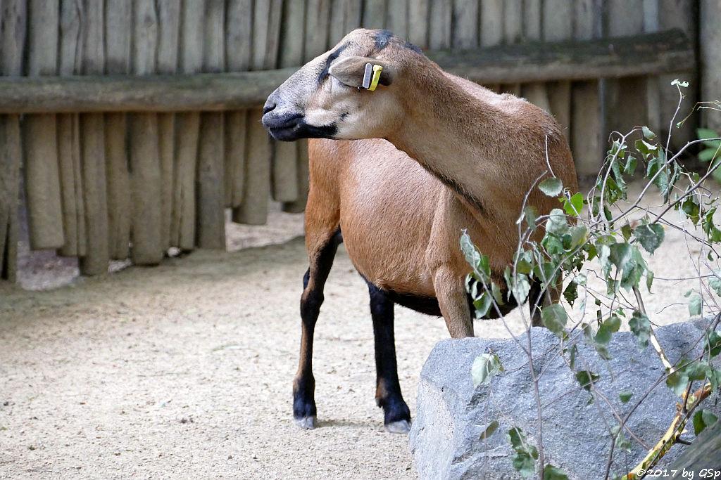 Kamerunschaf