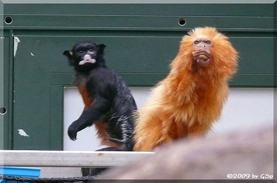 Rotbauchtamarin und Goldgelbes Löwenäffchen