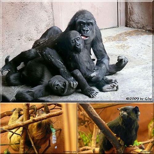 Gorilla-Pavillon - 62 Fotos
