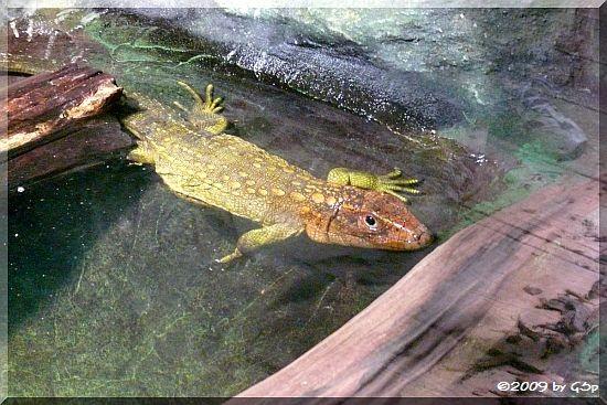 Krokodil-Teju