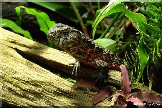 Krokodilschwanzhöckerechse