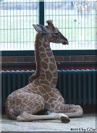 Rothschild-Giraffe (Uganda-Giraffe) ERIC, geb. 21.3.13 (4 Wochen alt)
