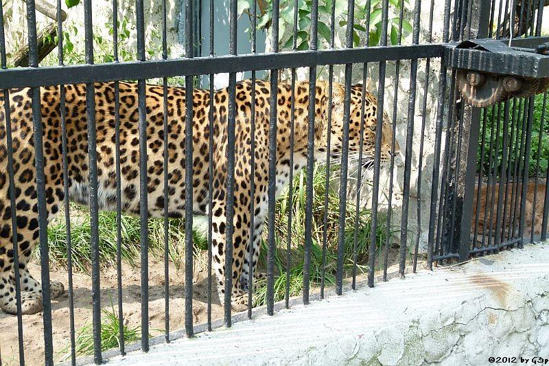 Nordchinesischer Leopard