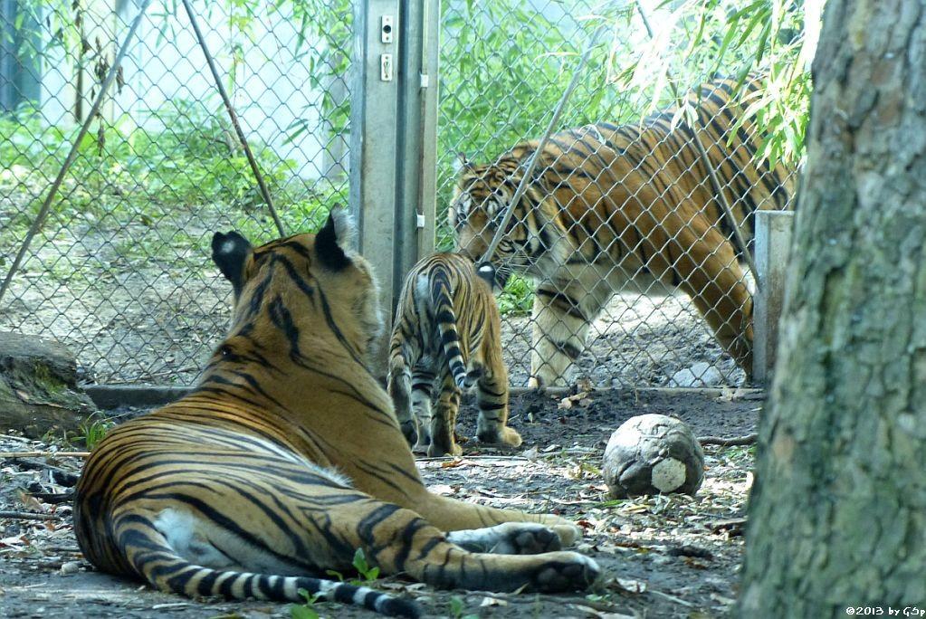 Sumatratigerin MALEA mit Tochter BERANI und IBAN am 13.09.13