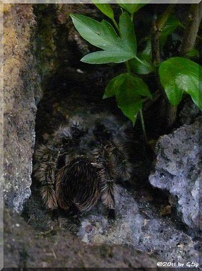 Kraushaar-Vogelspinne