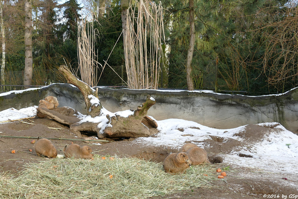 Schwarzschwanz-Präriehund