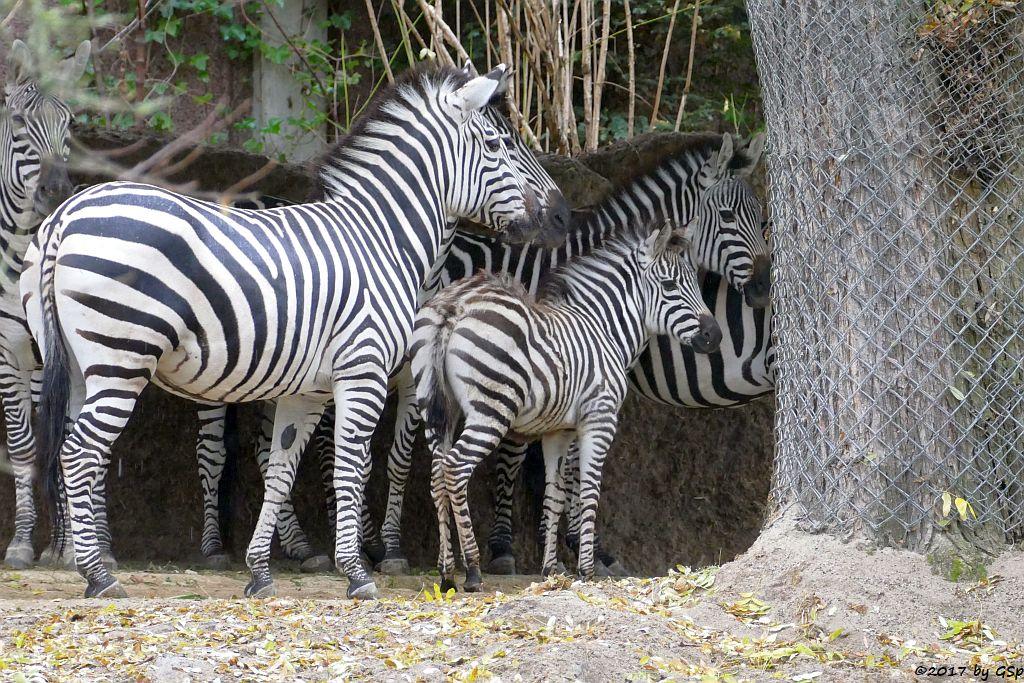 Böhm-Steppenzebra (Grant-Zebra), Jungtier OPALA geb. 23.8.17