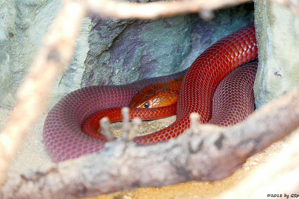 Rote Speikobra (Rote Mosambik-Speikobra)