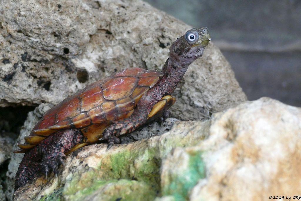 Spenglers Zacken-Erdschildkröte (Chinesische Zacken-Erdschildkröte)