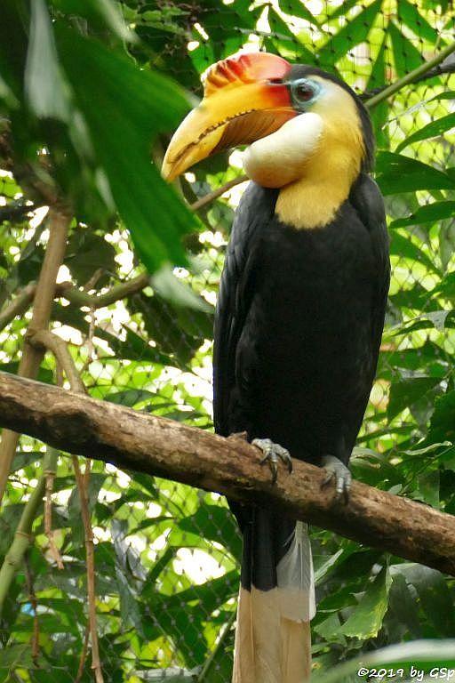 Runzelhornvogel (Furchenschnabel-Hornvogel)
