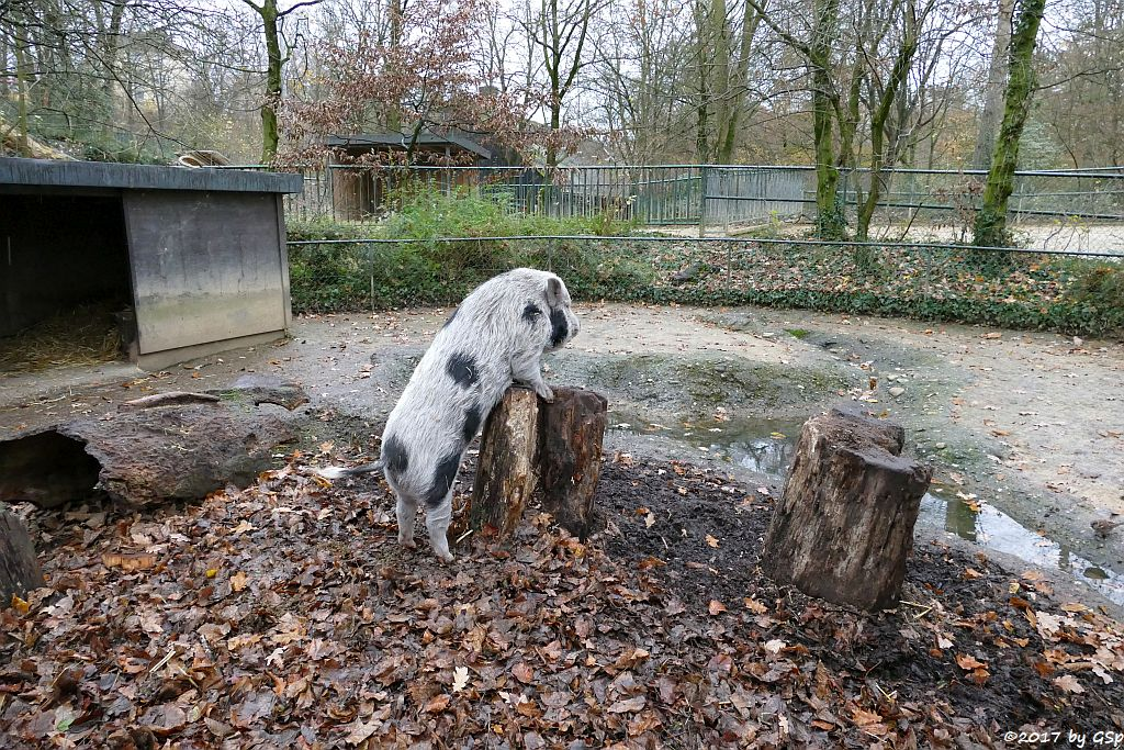 Minipig (Zwergschwein)
