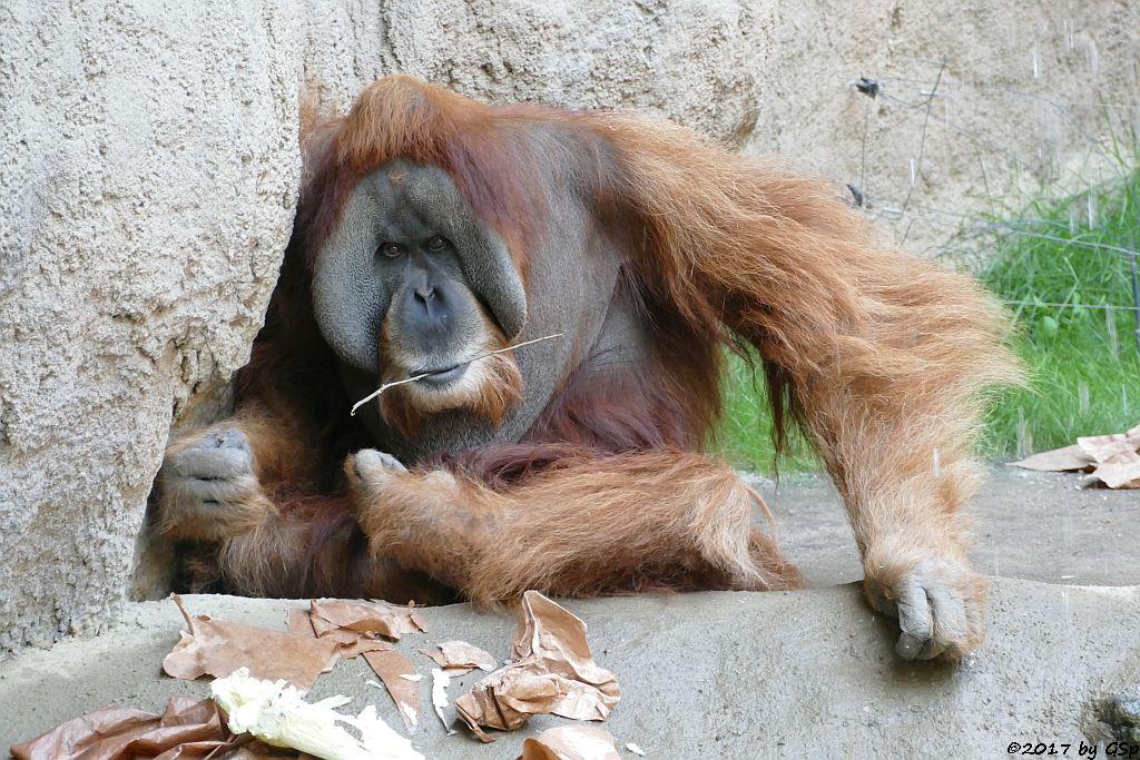 Sumatra-Orang-Utan BIMBO