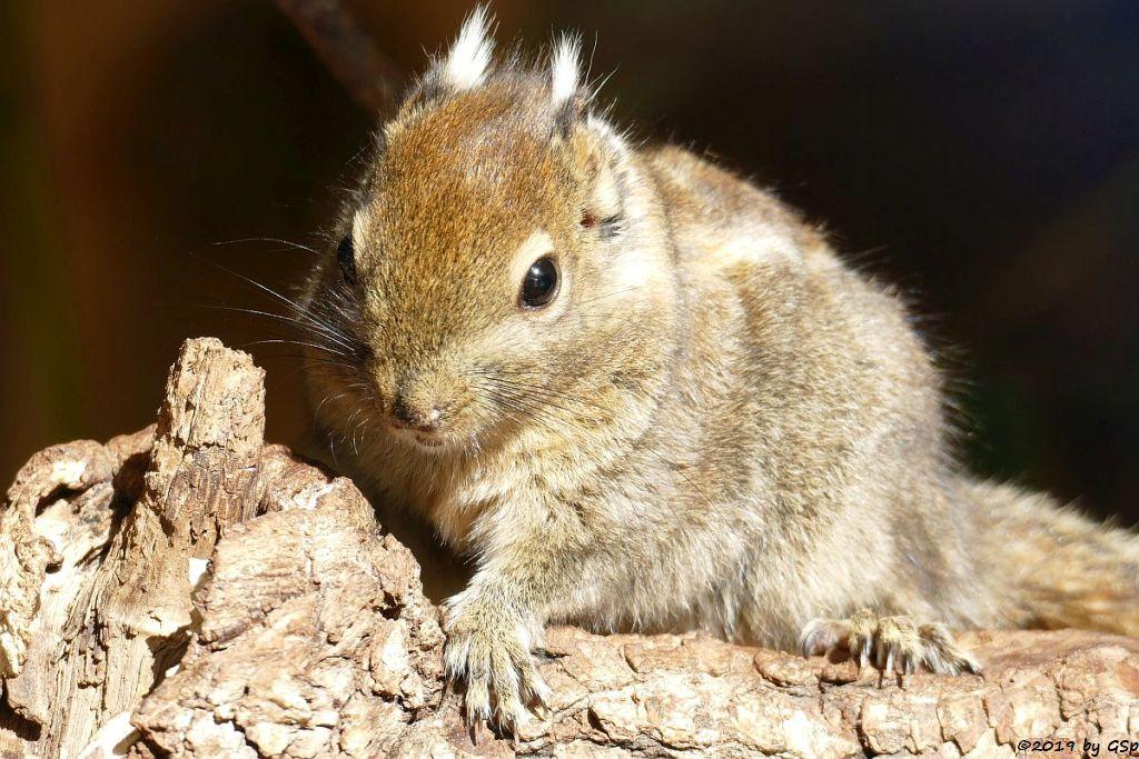 Chinesisches Zwergstreifenhörnchen (Chin.Baumhörnchen, Swinhoe-Zwergstr.....)