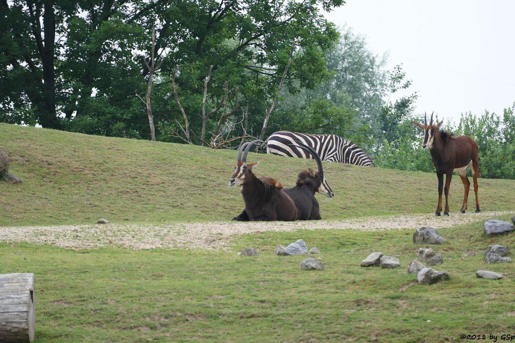 Südafrikanische Rappenantilope, Böhm-Steppenzebra (Grant-Zebra)