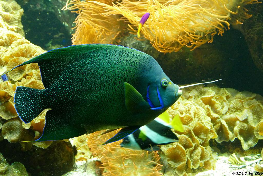 Koran-Kaiserfisch (Koranfisch, Blauer Kaiserfisch)