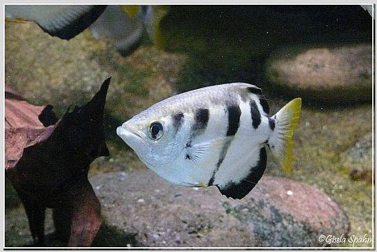 Schützenfisch