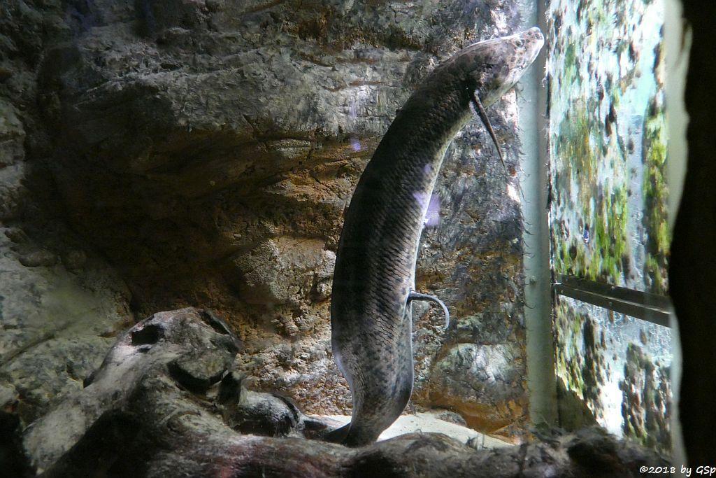 Westafrikanischer Lungenfisch