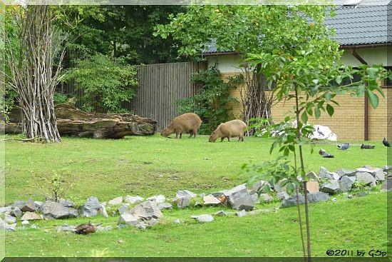 Capybara (Wasserschwein)