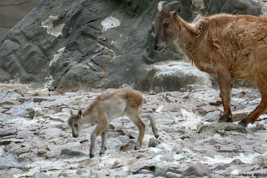 Himalaya-Tahr