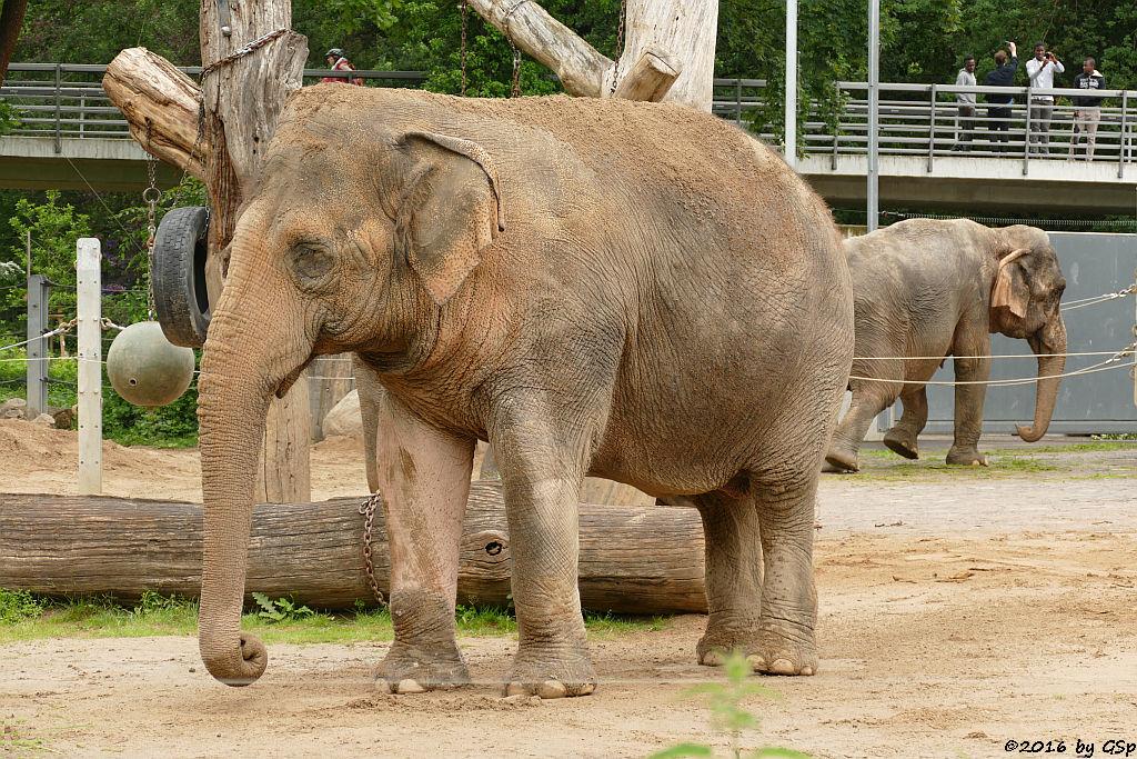 Asiatischer Elefant  SHANTI und NANDA