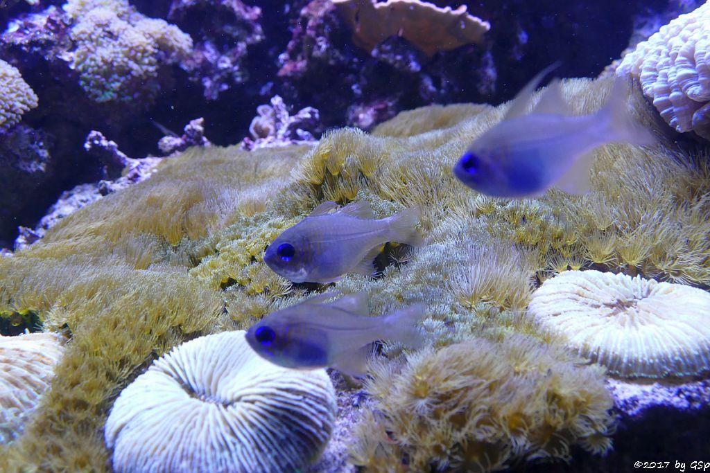 Blauaugen-Kardinalbarsch (Fadenflossen-Kardinalbarsch, Neonkardinal, Durchsichtiger Kardinalbarsch)