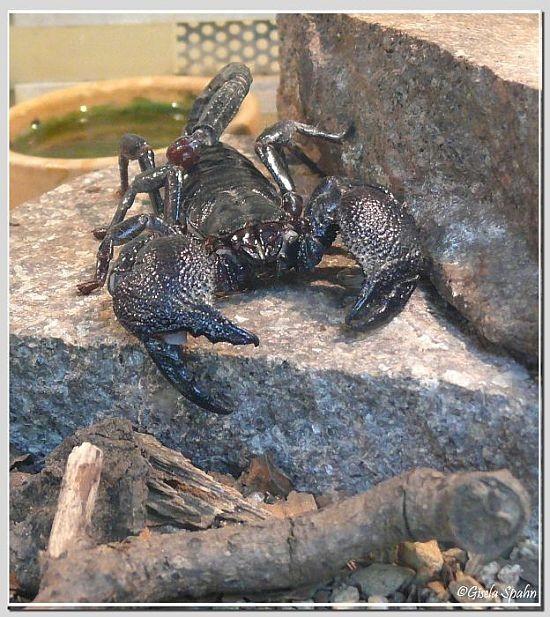 Kaiser-Skorpion