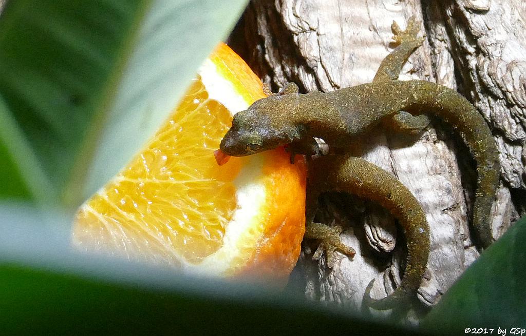 Gewöhnlicher Schuppenfingergecko (Jungferngecko)