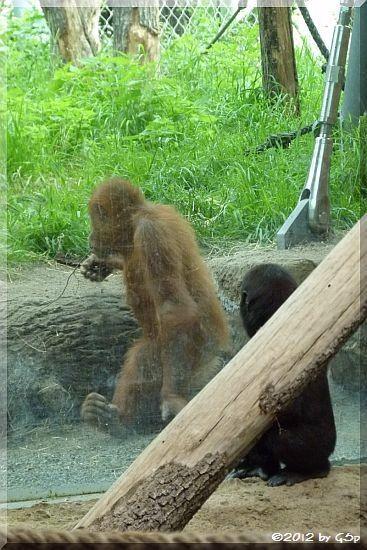 QUEMBO und Sumatra-Orang-Utan JAHE