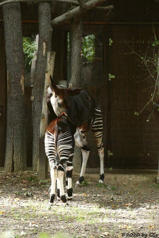 Okapi ZAWADI mit Sohn THABO, geb. 19.1.10