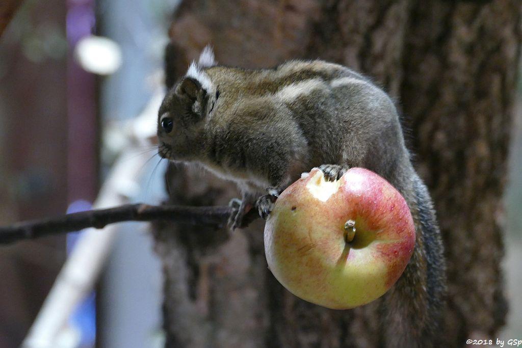 Chinesisches Zwergstreifenhörnchen (Chinesisches Baumhörnchen, Swinhoe-Zwergstreifenhörnchen)