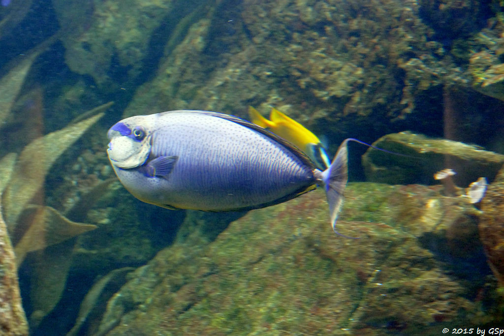 Vlaming's Einhorndoktorfisch