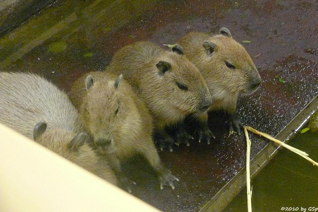 Capybara (Wasserschwein), Jungtiere 5 Wo alt