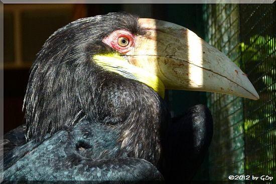 Jahrvogel (Furchenhornvogel)