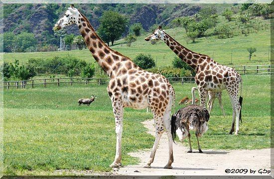 Rothschild-Giraffe, Blauhalsstrauß, Blässbock und Letschwe