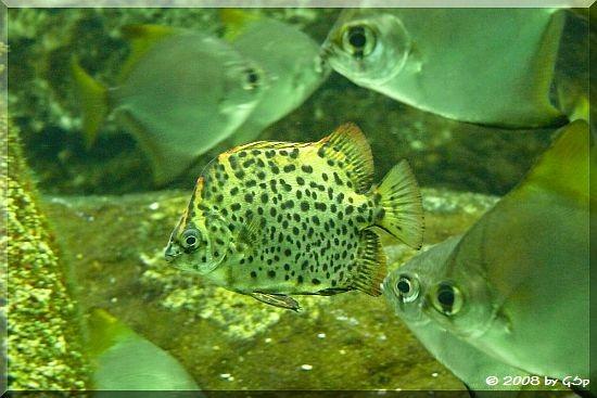 Argusfisch und Silberflossenblatt