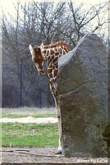 Rothschild-Giraffe (Uganda-Giraffe)