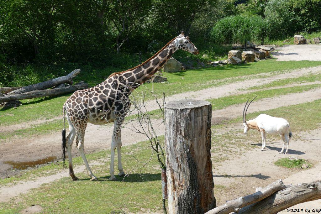 Rothschildgiraffe (Uganda-Giraffe, Baringo-Giraffe), Säbelantilope