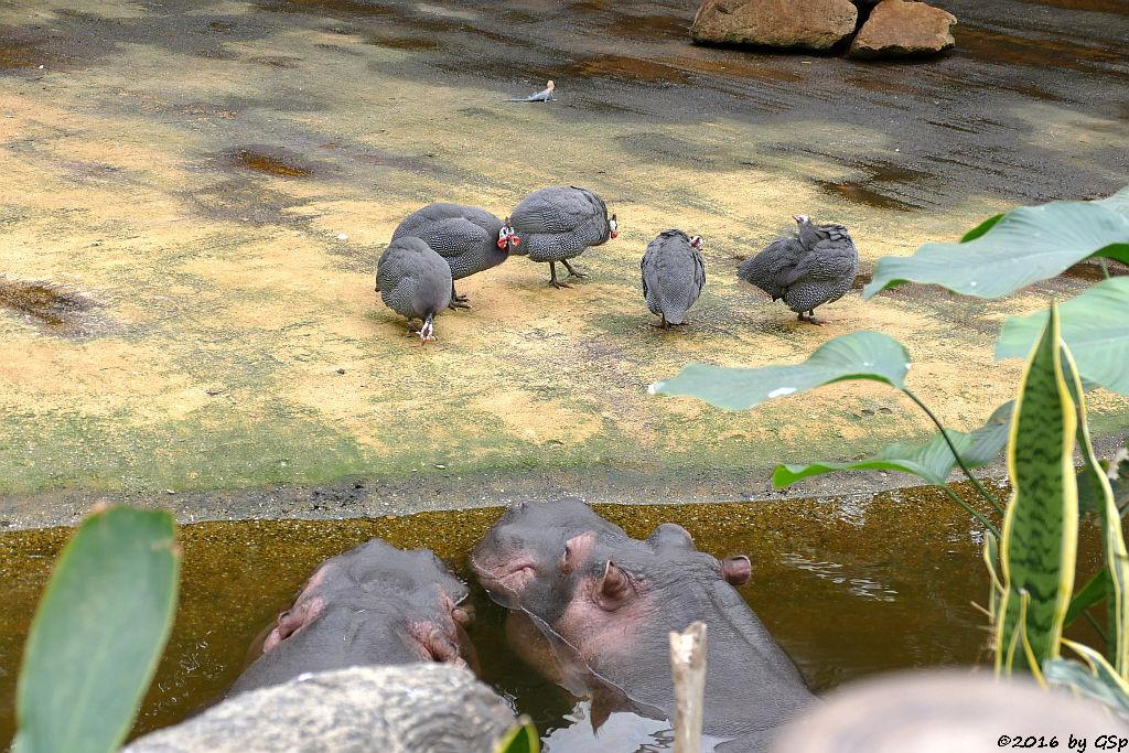 Flusspferd, Helmperlhuhn, Blaue Siedleragame