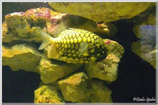 Japanischer Tannenzapfenfisch