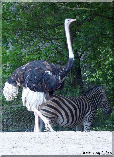 Nordafrikanischer Strauß, Chapman-Zebra