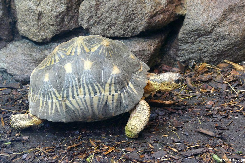 Stahlenschildkröte