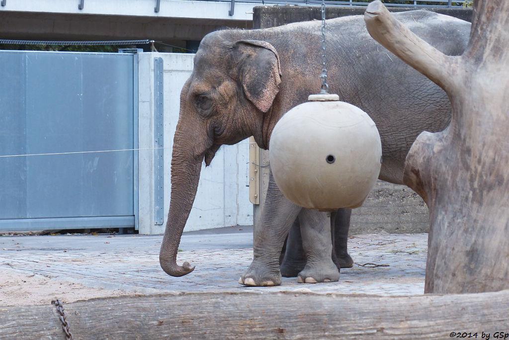 Asiatischer Elefant SHANTI