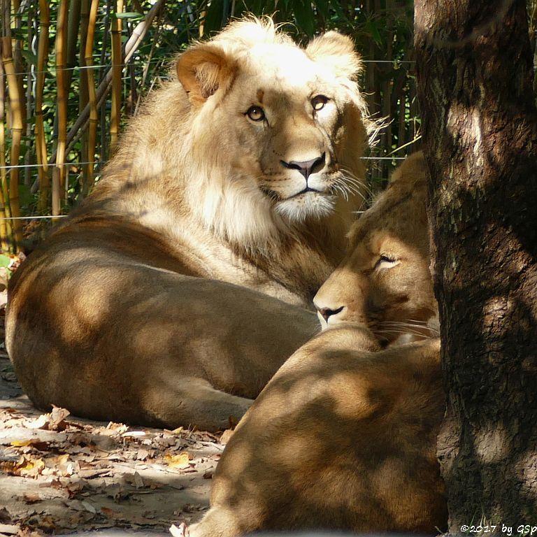 Kalahari-Löwe (Etoscha-Löwe, Wüstenlöwe) MAJO und KIGALI