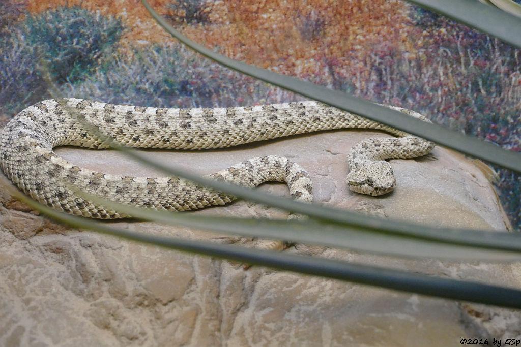 Seitenwinder-Klapperschlange