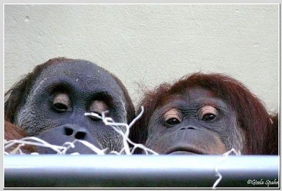 Sumatra-Orang-Utan UJAN und PUAN
