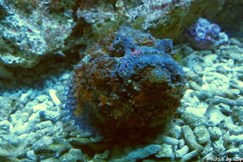Buckel-Skorpionfisch, Falscher Steinfisch (Scorpaenopsis diabolus)