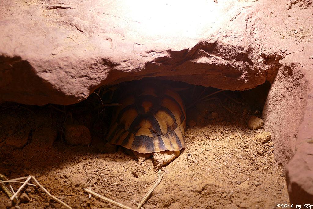 Ägyptische Landschildkröte