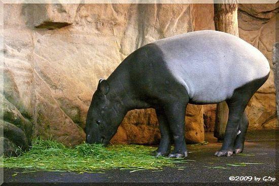 Schabracken-Tapir